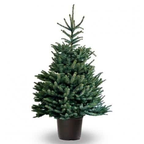 Picea Pungens Glauca (blauwspar)