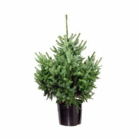 Picea Omorika (Servische Spar)