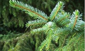 Picea_omorika2