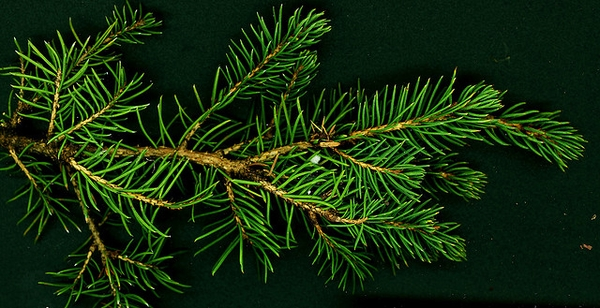 Picea-abies-Conica-